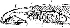 Кишечник и жаберный аппарат миноги