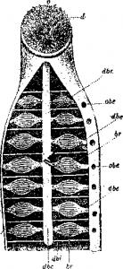Рот и дыхательные органы морской миноги