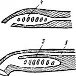 Личинка миноги
