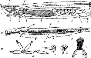 Миксины (Myxinoidea)