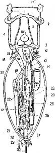 Схема венозной системы акулы Mustelus antarcticus