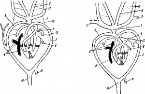 Органы кровообращения ящерицы