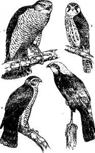 Дневные хищники птицы