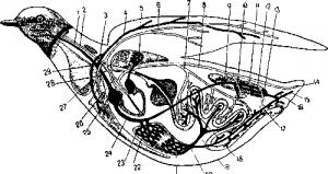 Органы кровообращения птиц