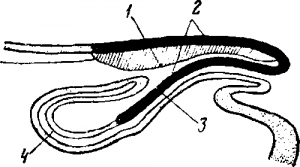 Половой орган самца нанду