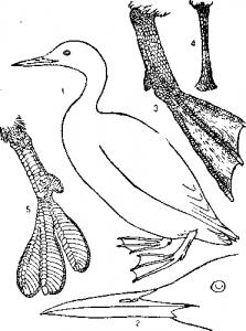Килегрудые, или летающие (Carinatae, или Volantes)