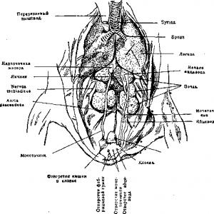 Половые органы птиц