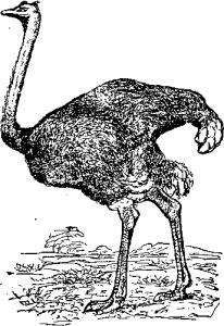 Ходящие птицы, страус