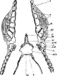 Органы дыхания птиц и голосовой аппарат