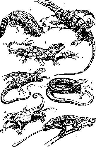 Настоящие ящерицы