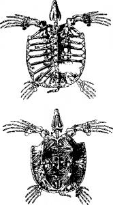 Панцирь и скелет черепахи эволюция рептилий