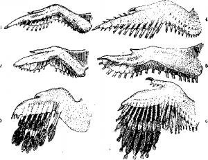 Пастушковые птицы