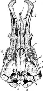 Яйцекладущие, Череп утконоса