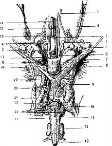 Половой член втянут в брюшину