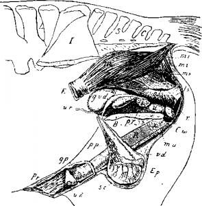Половые органы жеребца