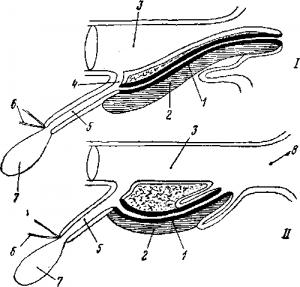 Половые органы млекопитающих