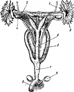 Женские половые органы кенгуру
