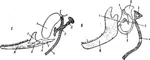 Строение слуховых косточек
