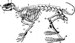 Строение позвоночника млекопитающего