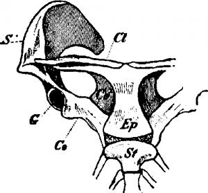 Плечевой пояс утконоса