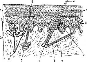 Анатомическое строение млекопитающих