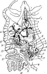 Анатомия самки кролика