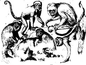 Широконосые обезьяны