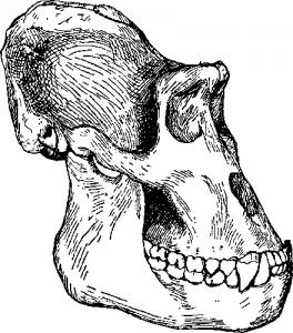 Приматы череп гориллы