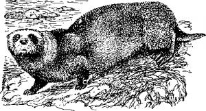 Калан, или морская выдра
