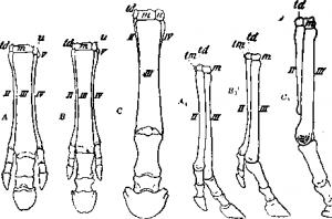 Эволюция передних конечностей млекопитающих