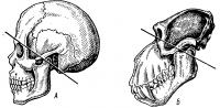Соотношение мозговой и лицевой частей черепа