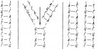 Схема редупликации ДНК