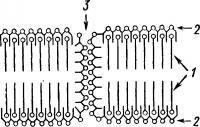 Схема молекулярной организации цитоплазматической мембраны
