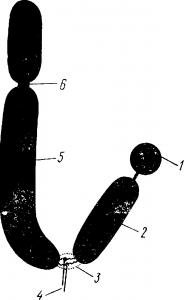 Схема строения хромосомы
