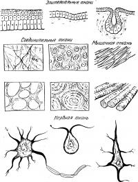 Ткани человека