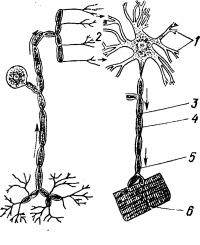 Схема нейрона