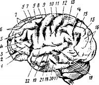 Борозды и извилины наружной поверхности полушарий мозга